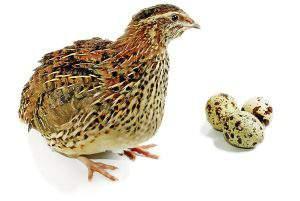 مزایای مصرف کردن تخم بلدرچین