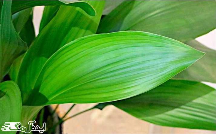 گیاه Aspidistra elatior