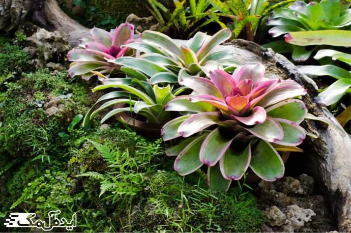 گیاه Bromeliads