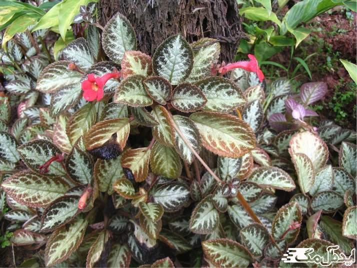 گیاه cupreata episcia