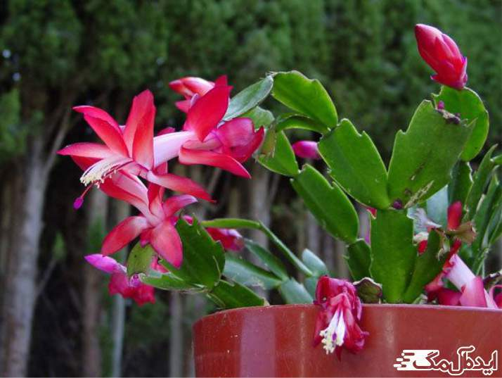 گیاه schlumbergera truncata