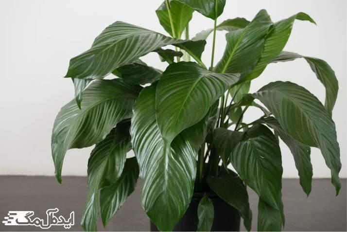 گیاه spathiphyllum