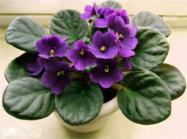 گیاه African Violets