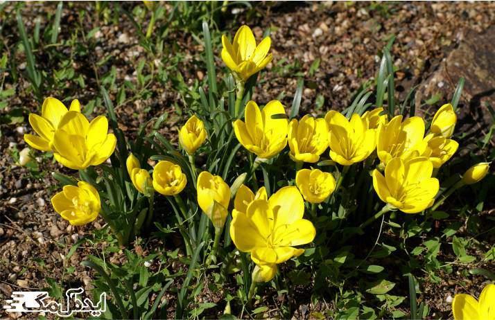 گیاه Autumn daffodil