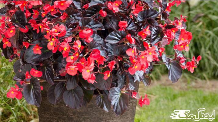 گیاه Begonia