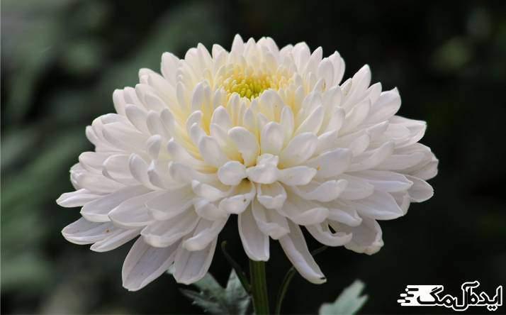 گیاه Chrysanthemum