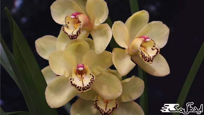 گیاه Cymbidium Orchid