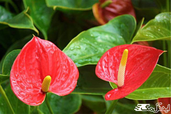 گیاه Flamingo flower