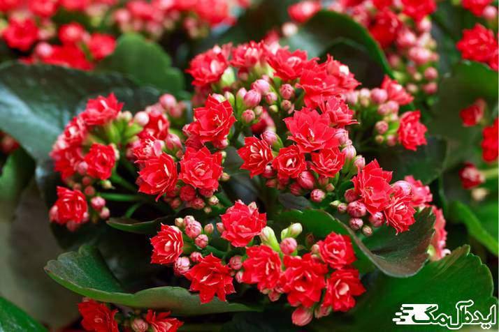 گیاه Kalanchoe