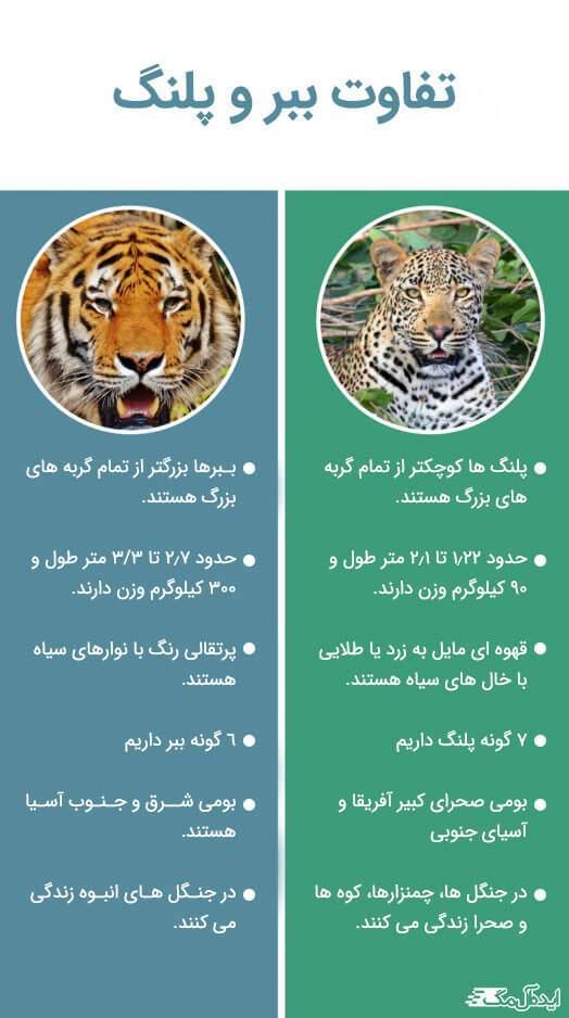 تفاوت ببر و پلنگ گربههای بزرگ