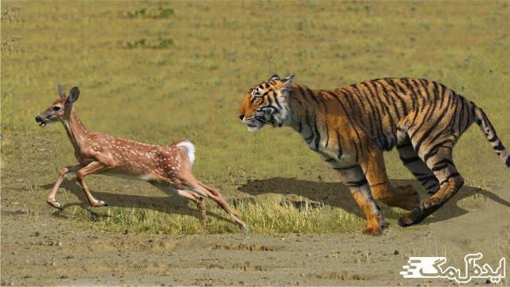 شکار کردن ببر