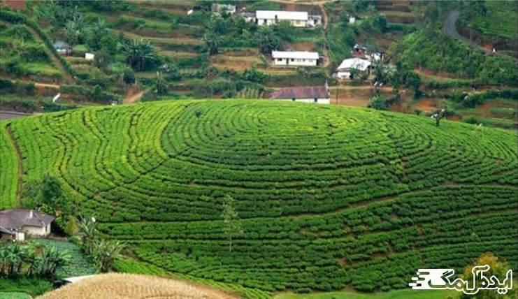 شهر املش | کشاورزی و کشت چای