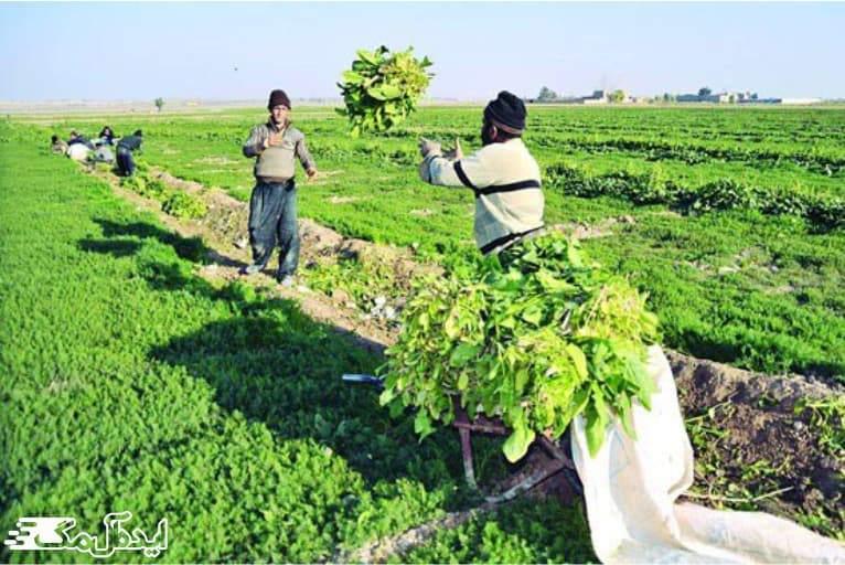 کشاورزی در شلمان