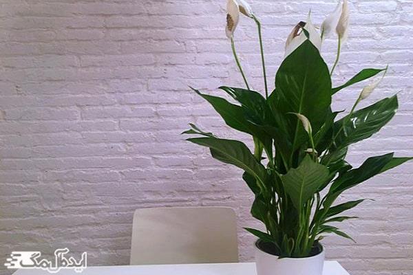 گل لیلی صلح