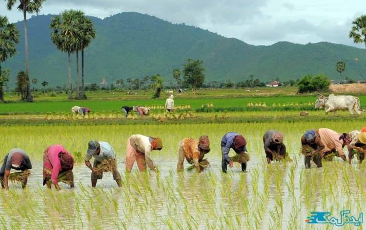 مزارع برنج دابودشت