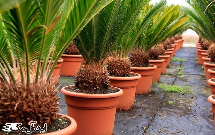 تعویض گلدان گیاه سیکاس