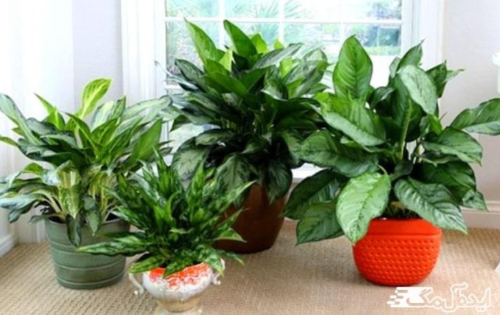انواع گیاه آگلونما