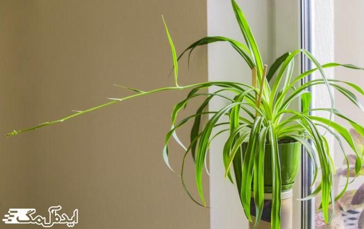 جوانه زدن گیاه گل گندمی