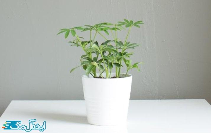 گیاه آپارتمانی درختچه چتری