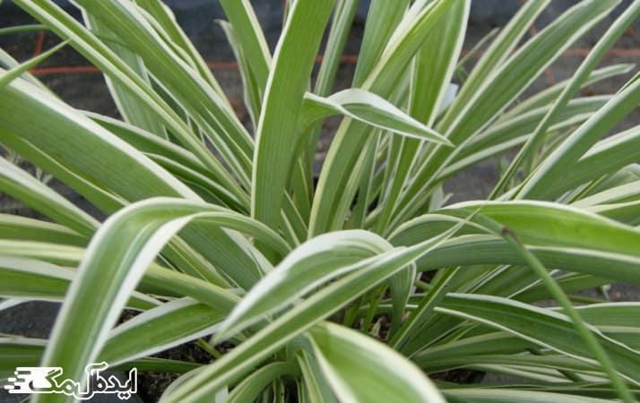انواع گیاه گل گندمی