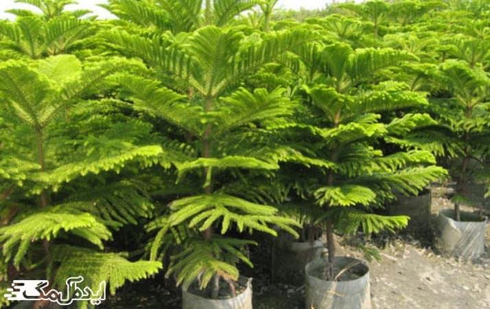کاج مطبق یکی از گیاهان آپارتمانی