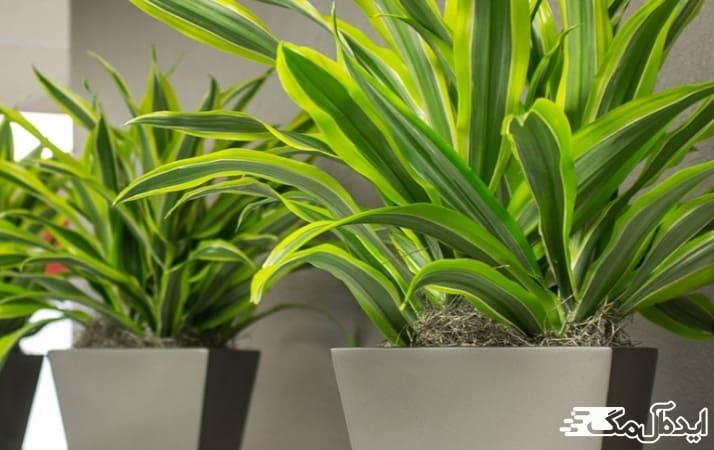 آبیاری گیاه آپارتمانی دراسنا
