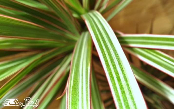 انواع گیاه دراسنا