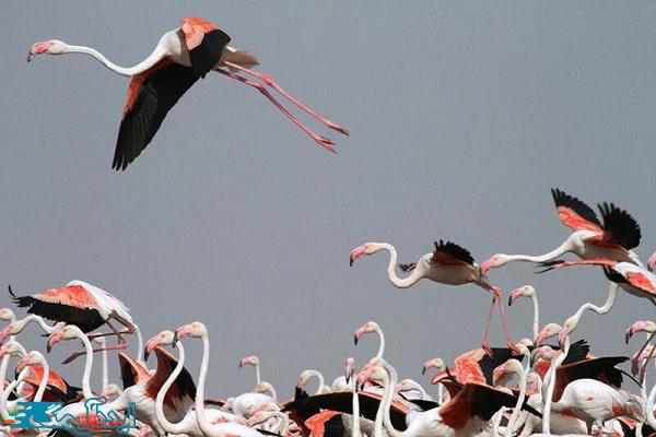 پرندگان مهاجر به مهارلو