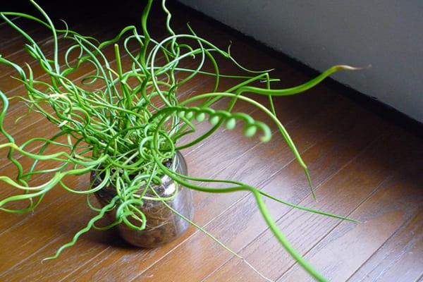 همه چیز درباره نگهداری گیاه آپارتمانی اسپیرالیس