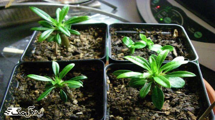آموزش کامل نگهداری و تکثیر گیاه نخل ماداگاسکار