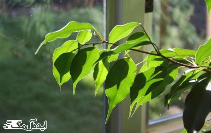 گیاه فیکوس آلاستیکا