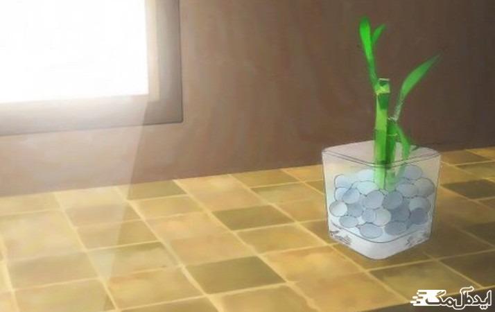 نور کافی برای گیاه بامبو