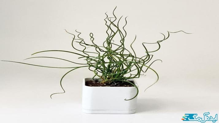 آموزش نحوه نگهداری از گیاه اسپیرالیس