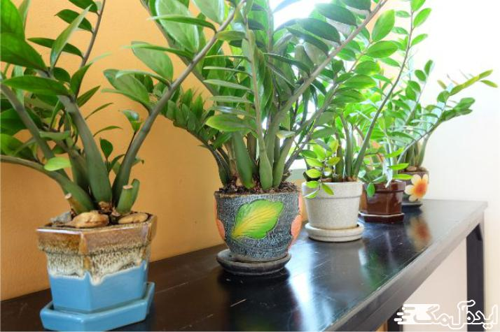 آیا گیاه زاموفیلیا سرطان زا است ؟