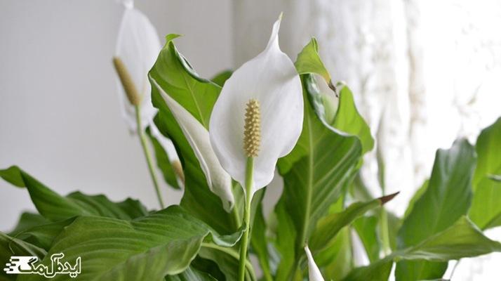 زنبق صلح، گونهای از گل های خانگی