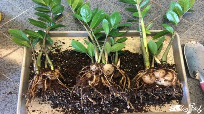 معرفی کامل گیاه زاموفیلیا و نحوه تکثیر آن