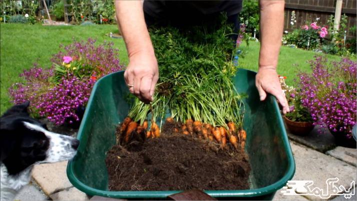 هویج در گلدان
