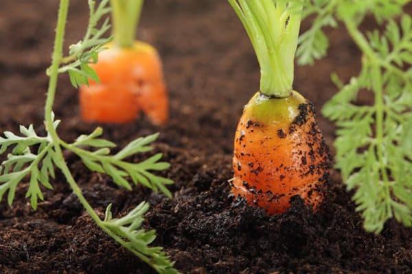 کاشت هویج در گلدان در آپارتمان