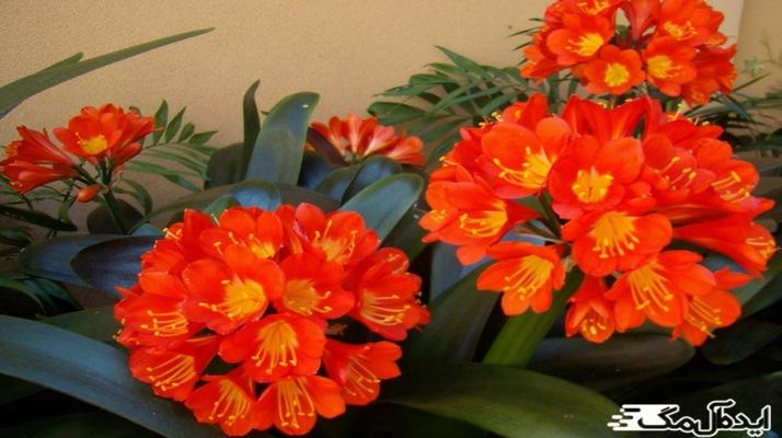 نام گلهای آپارتمانی +عکس