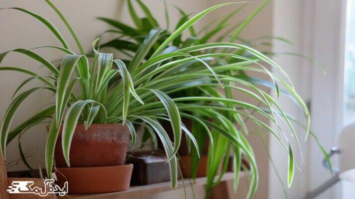معرفی کامل گیاه گندمی و نحوه نگهداری آن در نور کم