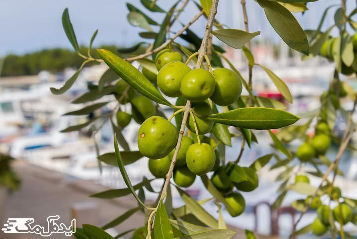 خواص ضد ویروسی برگ درخت زیتون