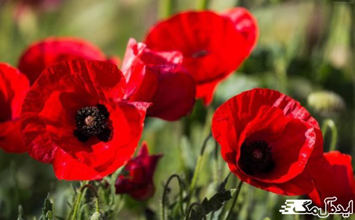گل گاو زبان و گل شقایق