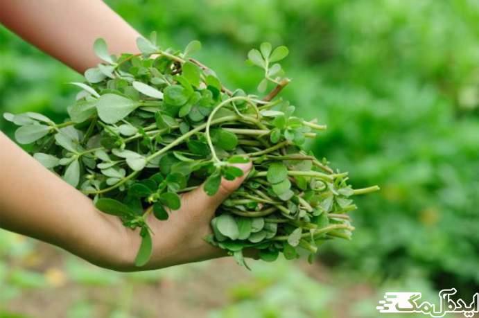 موارد مصرف گیاه خرفه