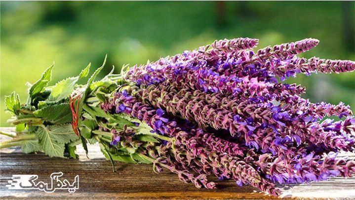 گیاه مریم گلی چیست