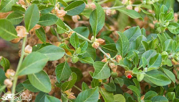 درمان گیاهی افسردگی بعد از زایمان با گیاه آشواگاندا