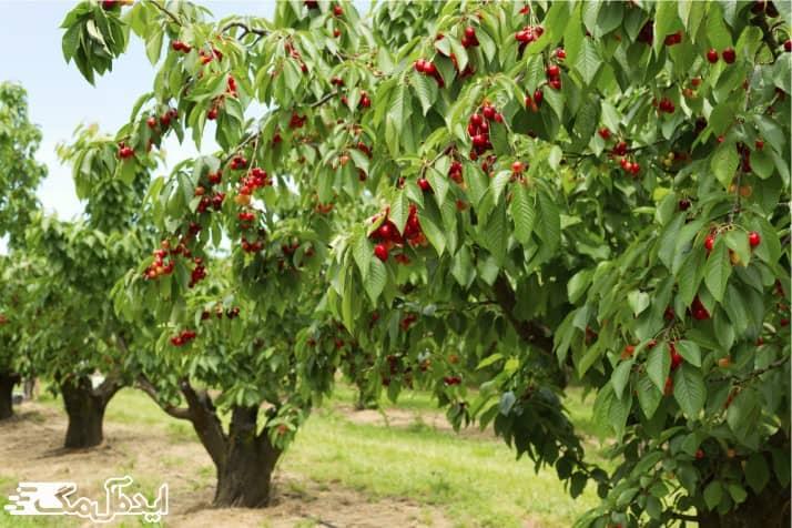 درخت گیلاس در مناطق سردسیر
