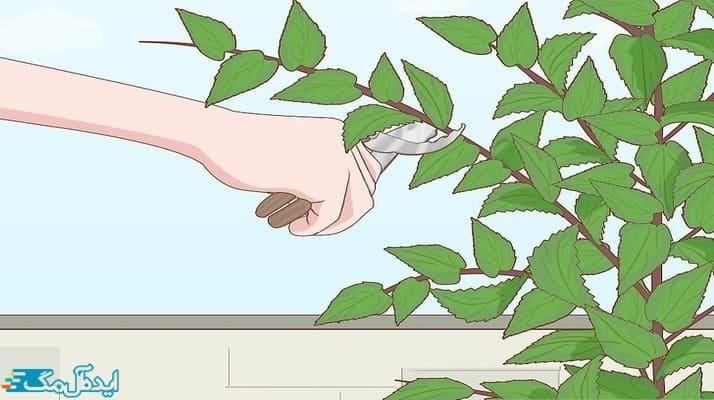 آموزش گام به گام کاشت و پرورش درخت گیلاس