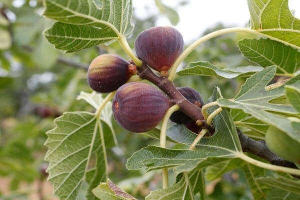 آموزش نگهداری از درخت انجیر