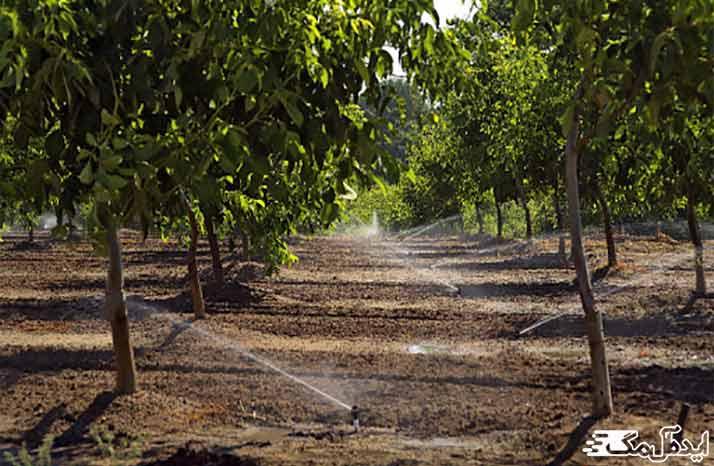 آبیاری درخت و نهال گردو