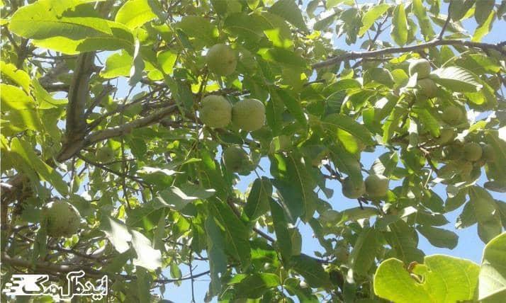 درخت گردو چیست ؟